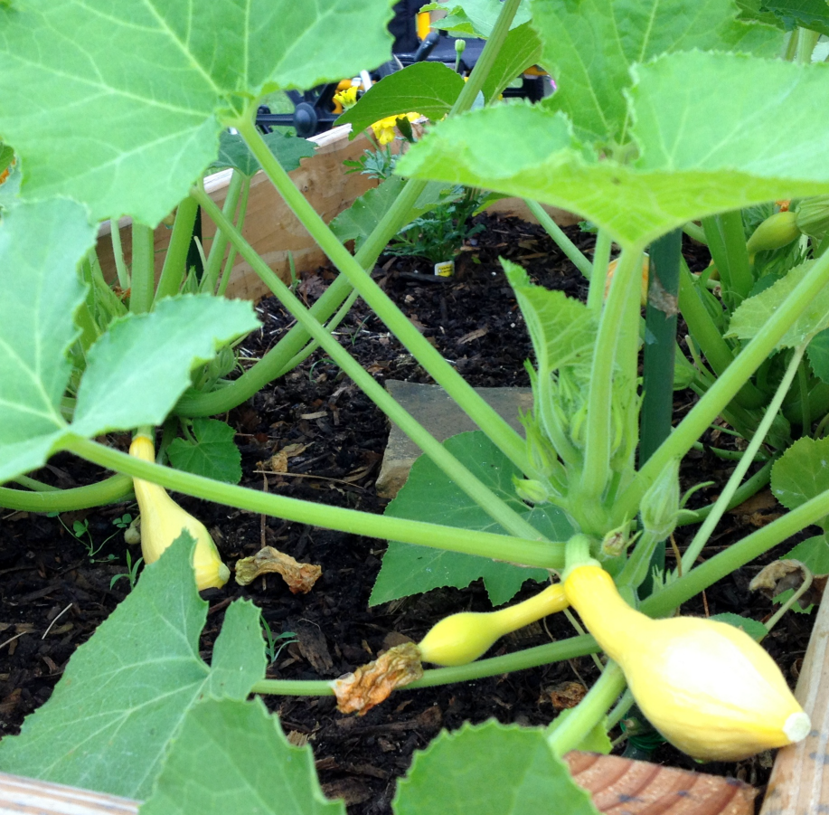 Garden 1st squash May 2014 SNAG-0006